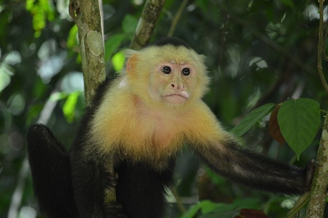 Capuccin White-Faced Monkey